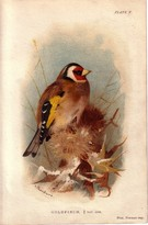 Goldfinch-SOLD - Image 1